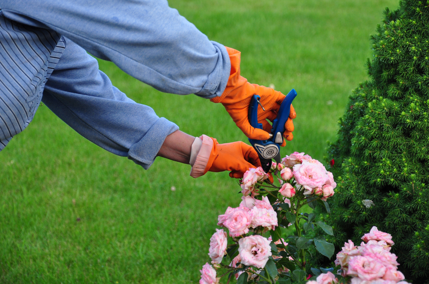 prendre soin de ses rosiers